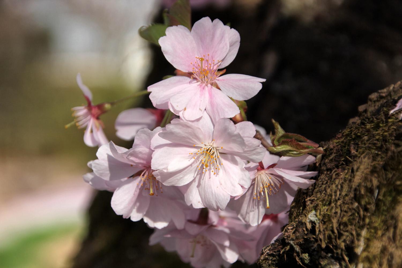 Der Frühling blüht