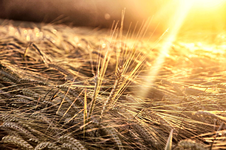 Sonnenuntergang im Weizenfeld