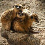Erdmännchen, Tiere, Zoo Barcelona