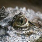 Krokodil, Tiere, Zoo Barcelona