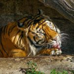 Tiger, Tiere, Zoo Barcelona