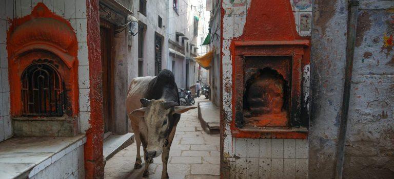 Die heilige Kuh Indiens